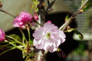 20090405_asahi-sakura03.jpg