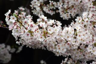 20090405_meguro-sakura_up01.jpg
