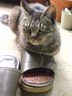 サンダル猫