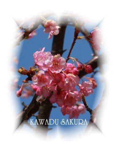 河津桜は あと1週間かな。