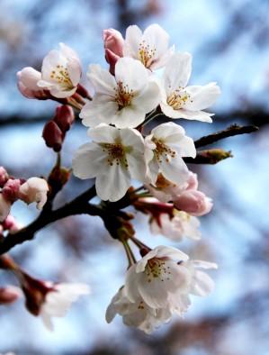 桜~さくら~♪咲き誇って~♪