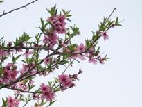 桃  の花