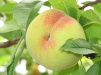 桃 の実アップ