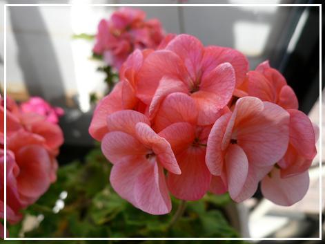 P1100526_pink.jpg