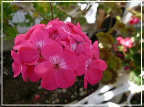 P1100529_pink2.jpg