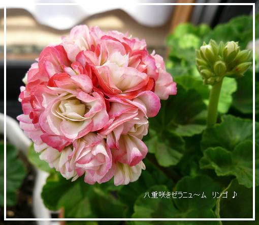 P1120511_ringo.jpg