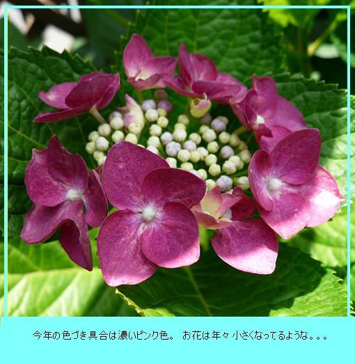 P1150289_azisai1.jpg