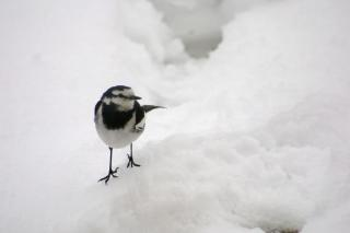 snow_wagtail