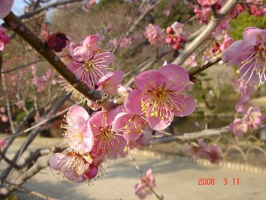 薄いピンクの梅