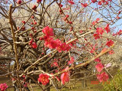 梅のお花がいっぱい