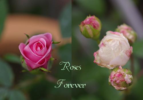 rose_20090505232643.jpg