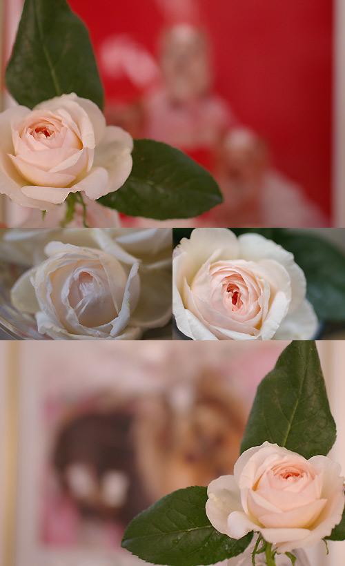rose_20090510124327.jpg