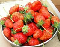 あきもとが収穫したイチゴ