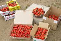 今年のイチゴ狩りでの収穫の一部