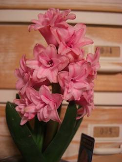 ヒヤシンス八重ピンク