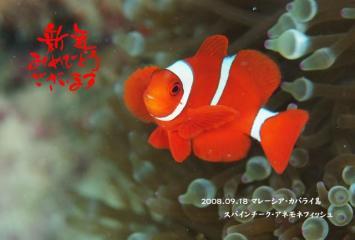 スパインチークアネモネフィッシュ(カパライ島)
