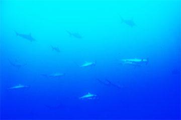 アカシュモクザメ(与那国島)