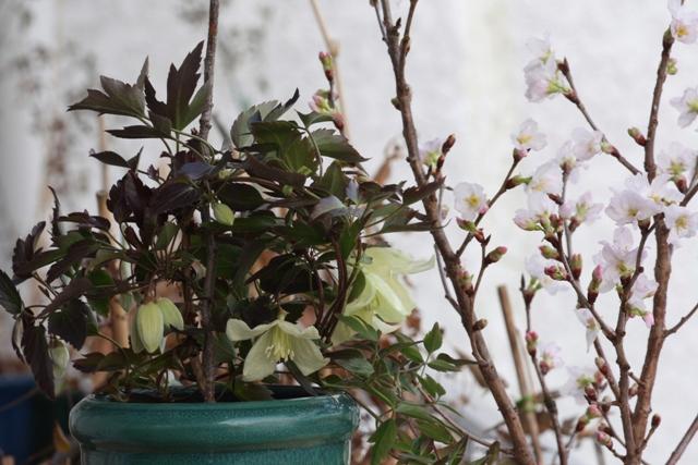 シルホサ&桜