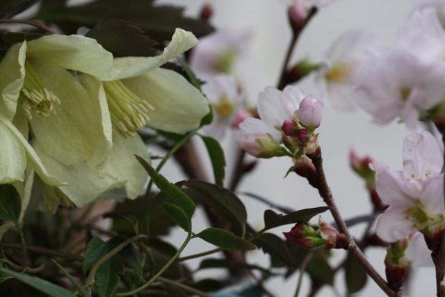 シルホサ&桜Ⅱ