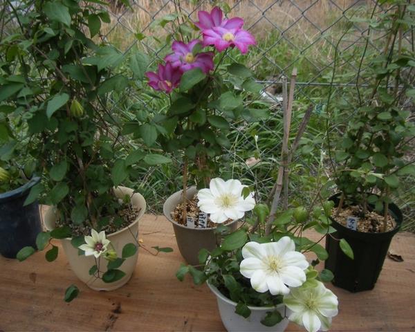 早咲き3品種