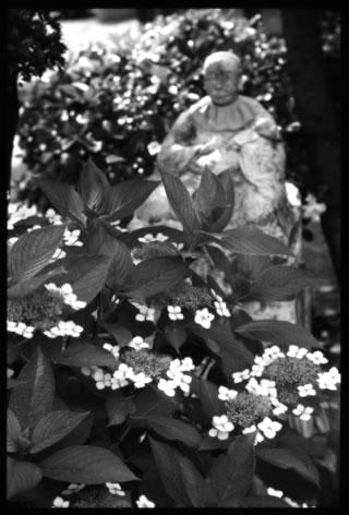 紫陽花softon