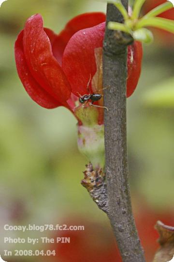 曖昧的海棠&模糊的螞蟻