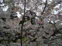 法多山 桜1