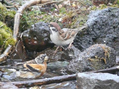 雀とアトリ