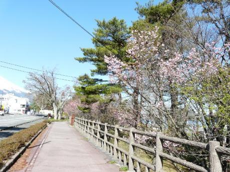 山中湖 桜