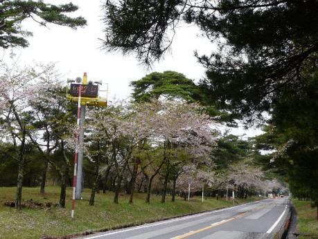 須走口の桜