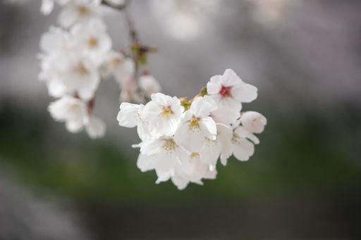 ミネの桜2