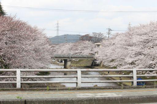 ミネノ桜1