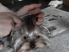 頭の毛をとかされるラビ