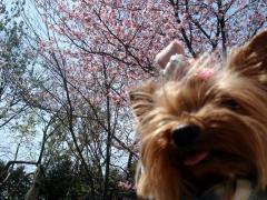 桜とアイちゃん