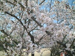 2003 なかよし公園 桜満開<a href=