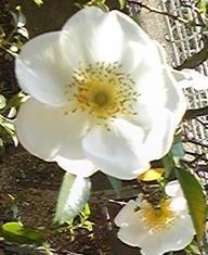 rose_may2.jpg