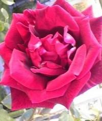 rose_may3.jpg