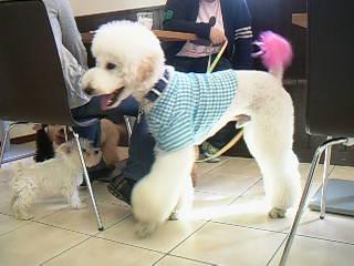 スタンダードプードルVSミニチュアシュナウザーの仔犬ちゃん☆