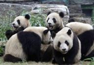 中国の動物園でパンダが学生にかみつく