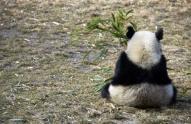 北京の動物園で、パンダが柵内に入った男性にかみつく