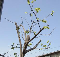 春の柿の木