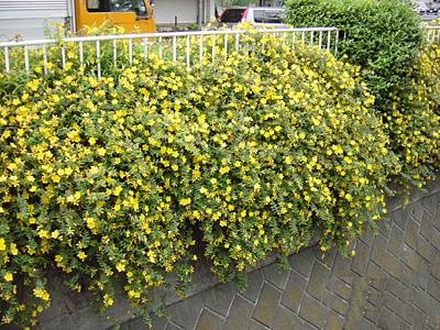 道路脇の花①