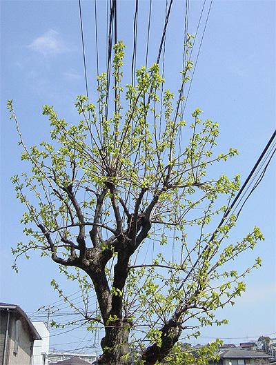 柿の木・新芽①