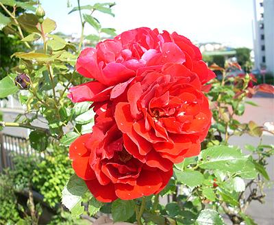 庭のバラ①
