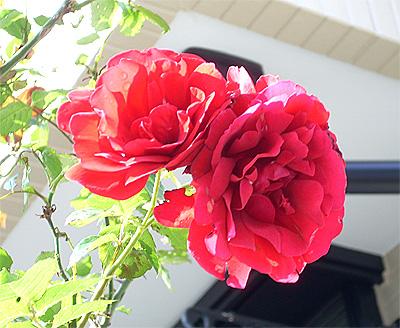 庭のバラ②