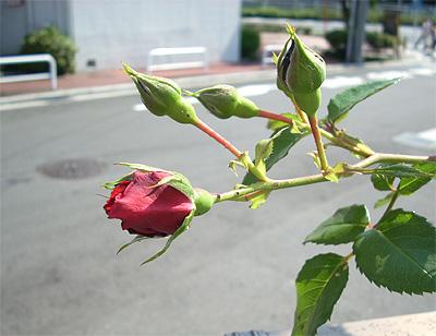 庭のバラ③