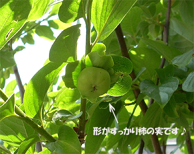 2007:甥っ子柿の木②
