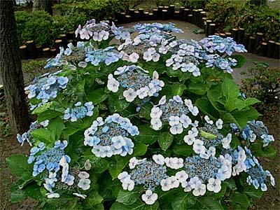 雨の紫陽花①