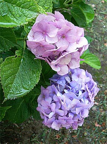 雨の紫陽花③