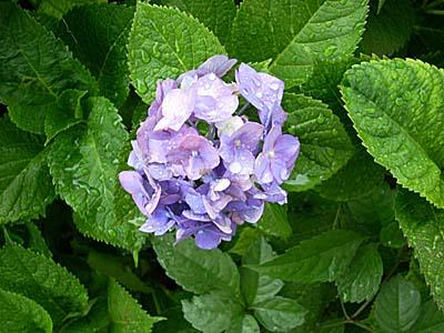 雨の紫陽花④